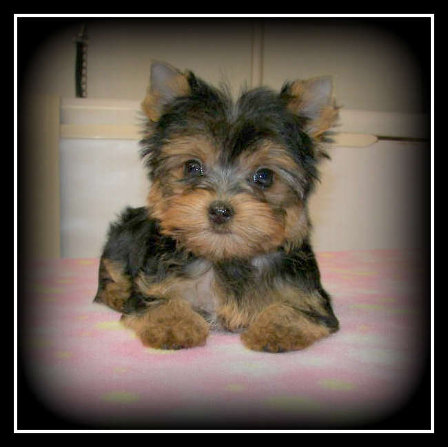 Spoildrotten Yorkshire Terriers and Pomeranians - Home