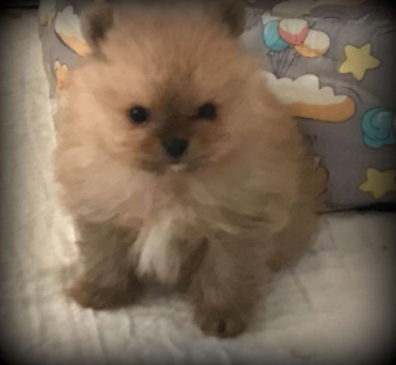 Spoildrotten Yorkshire Terriers and Pomeranians - Available
